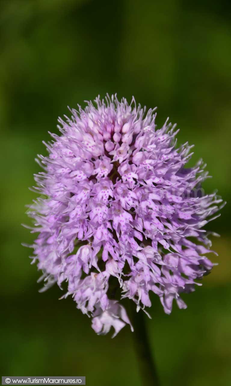 0124_Orhidee-salbatica