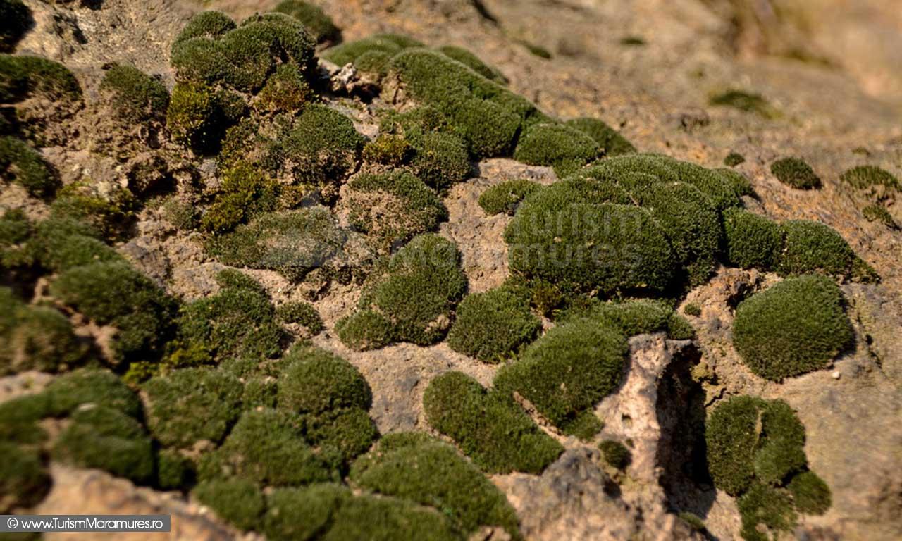 Muschi de piatra