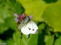 Fluture-Albilita