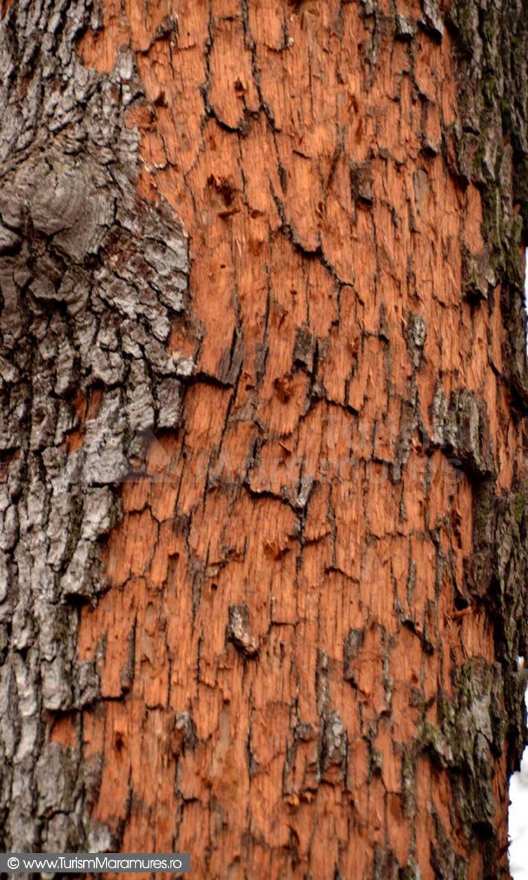 Trunchi-stejar