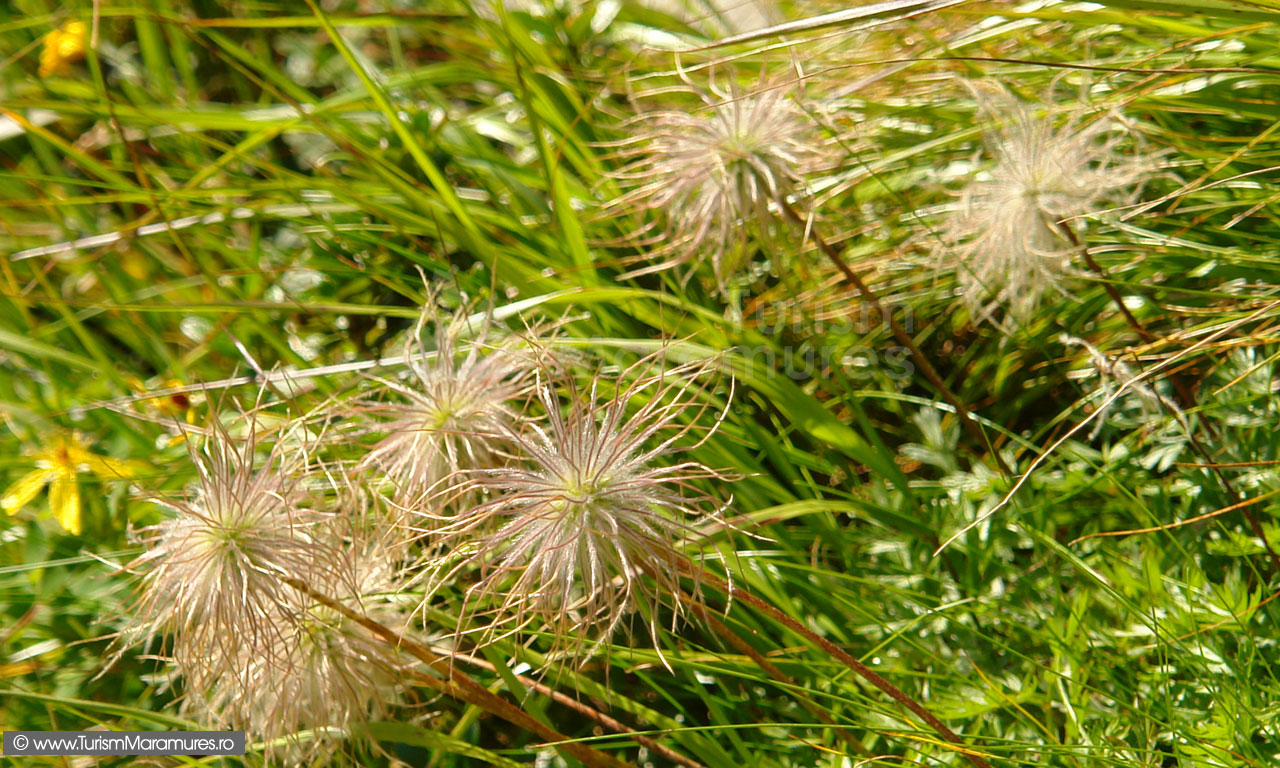 26_Pulsatilla-micrantha-seminte