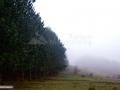21-Plantatie-pini-dealul-Urisului