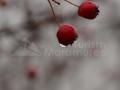 42-Fructele-paducelului