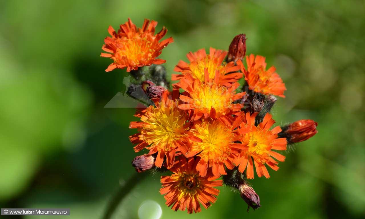 Floare_0078