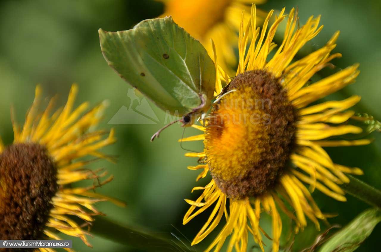 Floarea-soarelui_0147