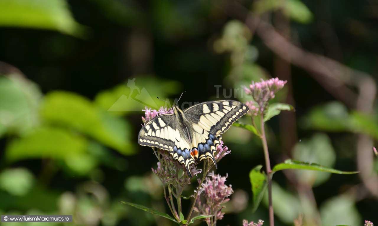 Fluture_0166
