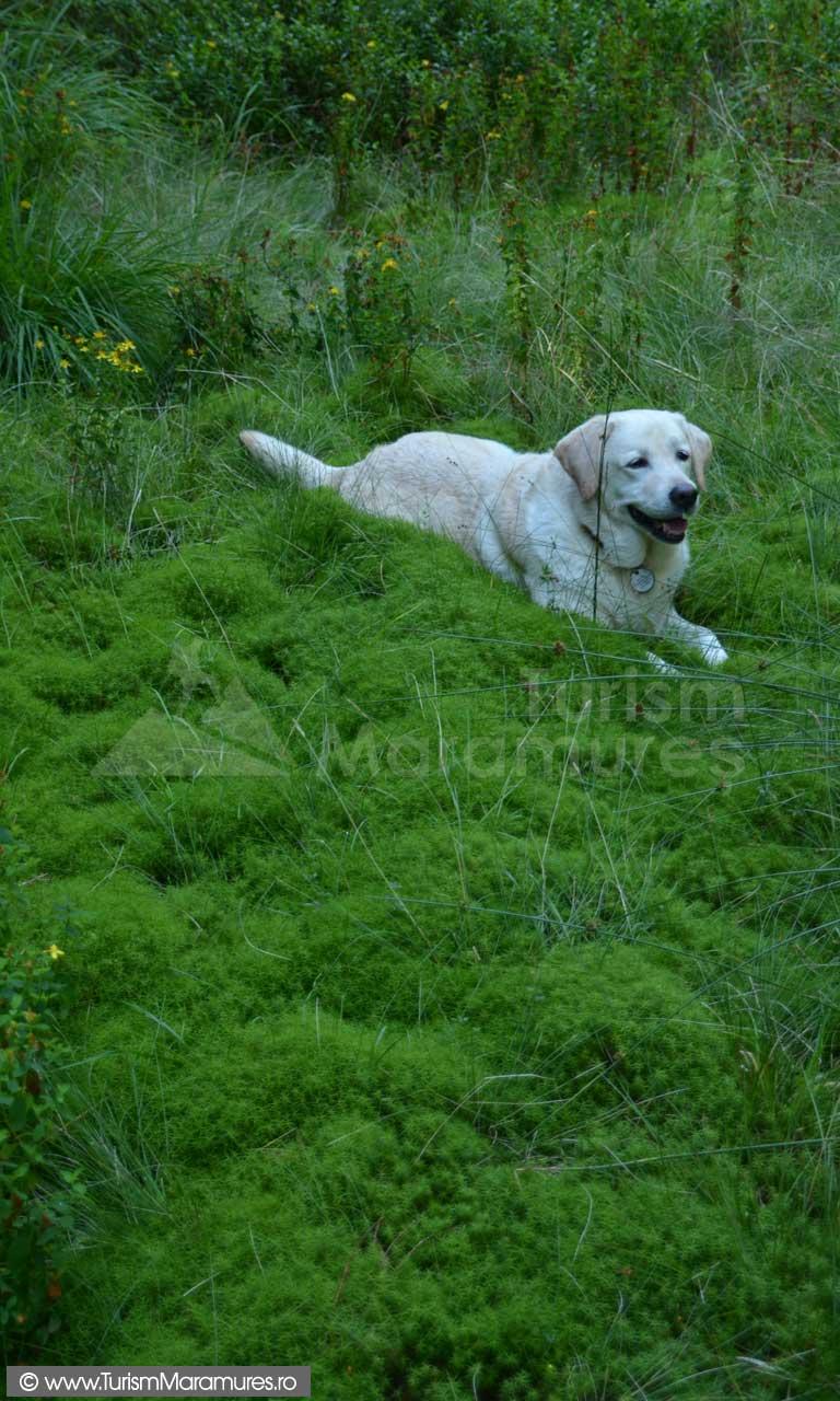 Labrador_0086