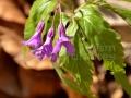 41-Dentaria-glandulosa.jpg