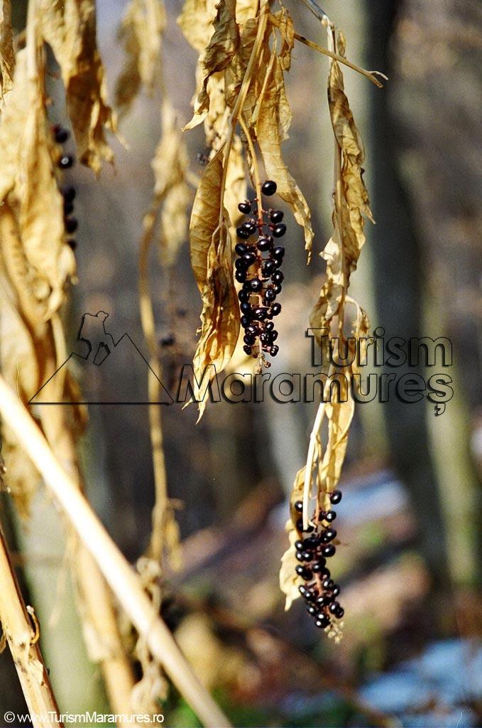 05-Fructe-de-matraguna-Atropa-beladona