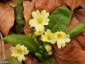 00-Primula-vulgaris