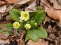 02-Primula-vulgaris