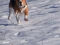 25-Beagle-alergand