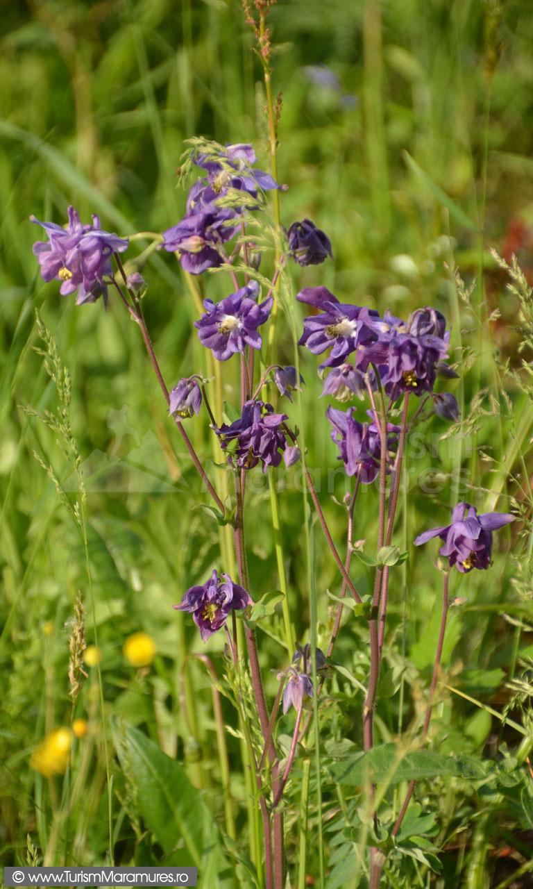 0016_Caldaruse_Aquilegia-vulgaris