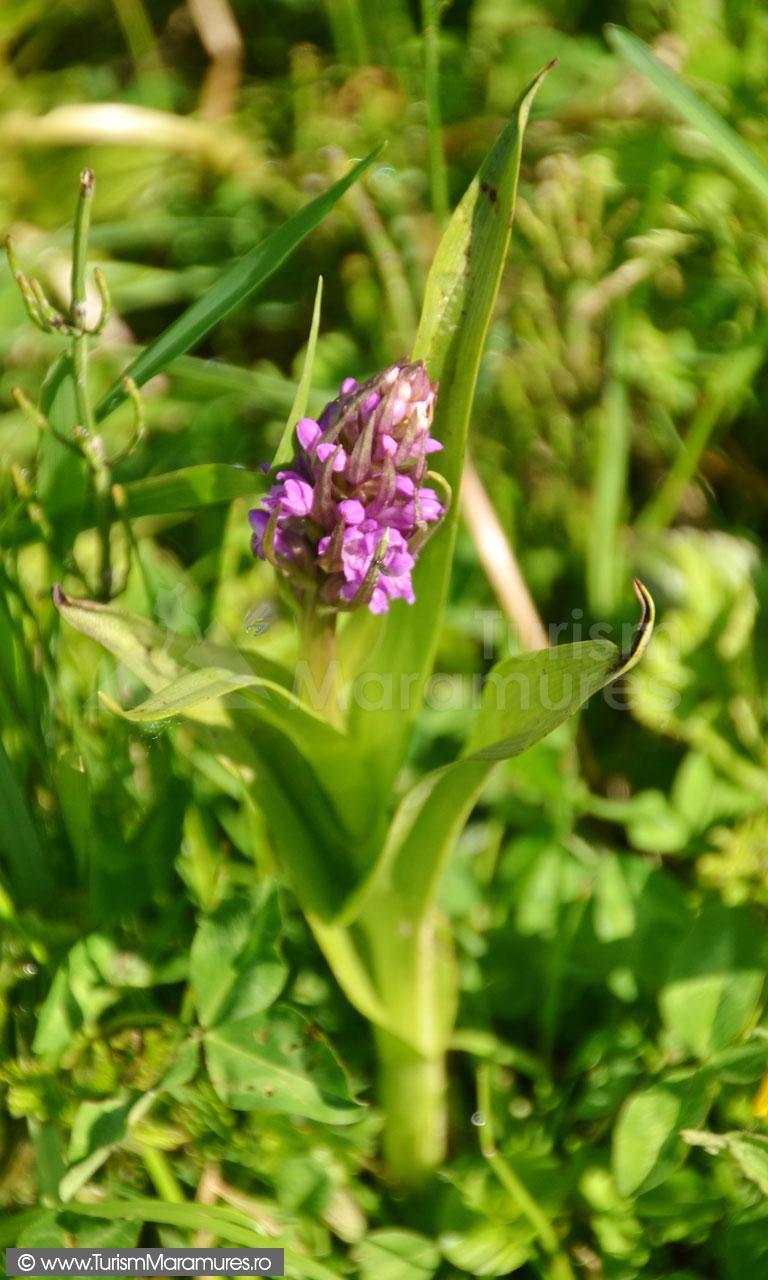 0132_Orhidee_Dactylorhiza-sambucina