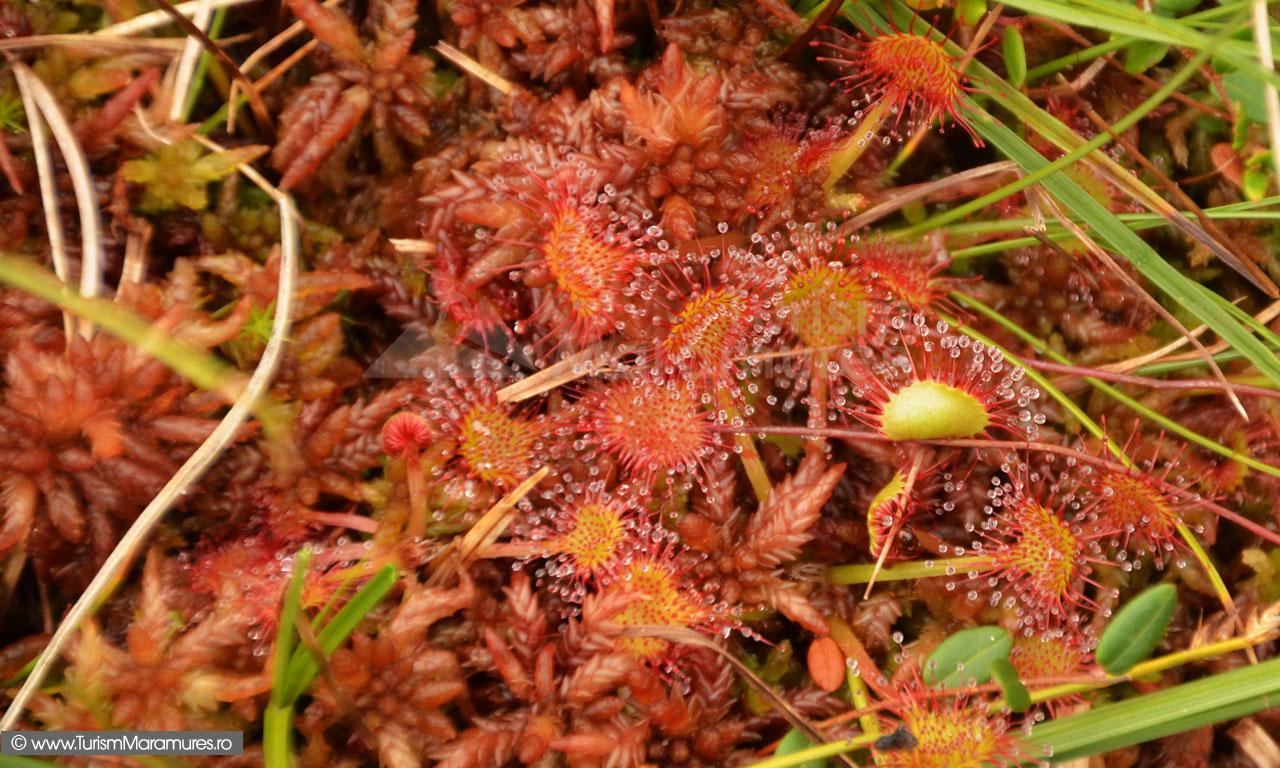 42_Drosera-rotundifolia_Roua-cerului