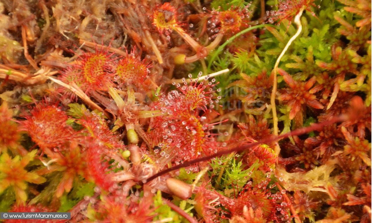44_Drosera-rotundifolia_Roua-cerului