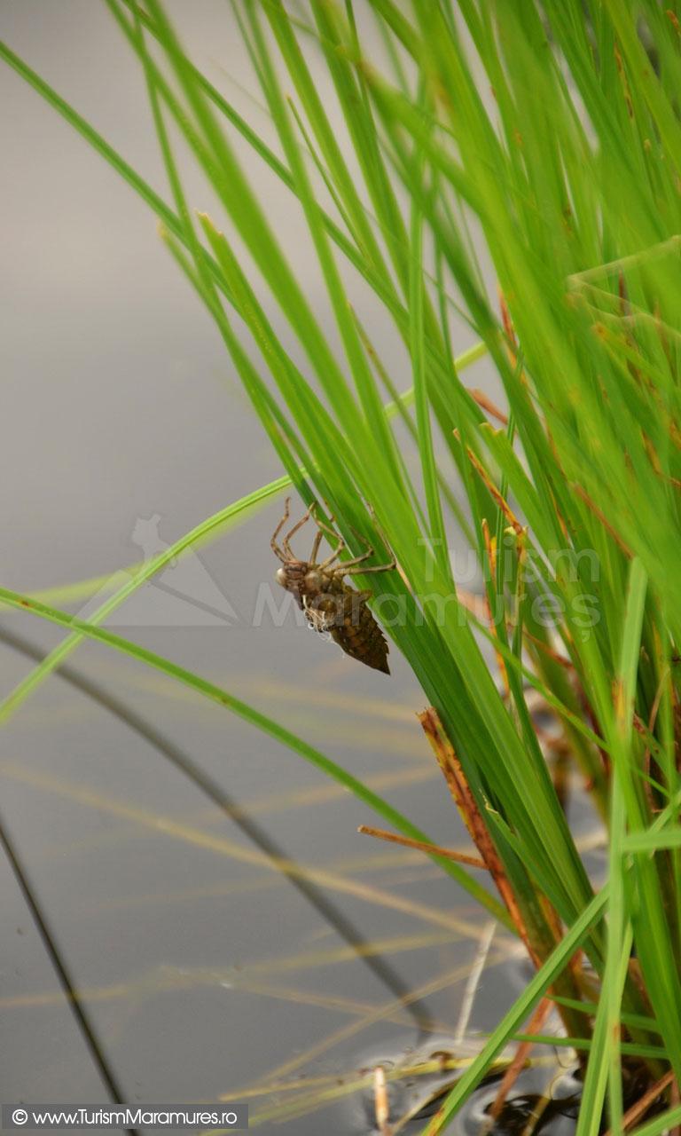45_Larva-libelulei-napirlite
