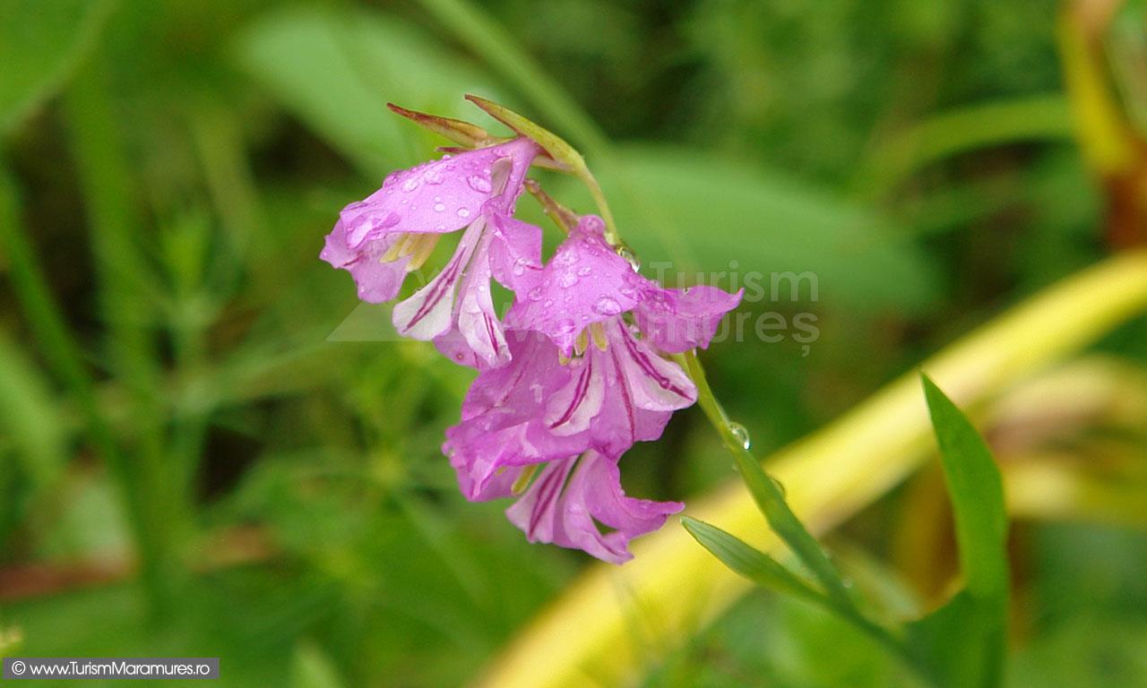 03_Gladiolus-imbricatus_gladiole-salbatice