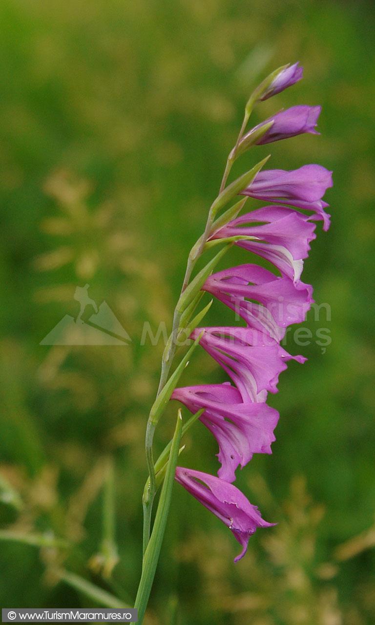 13_Gladiolus-imbricatus_gladiole-salbatice