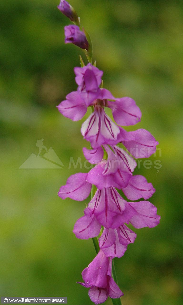 14_Gladiolus-imbricatus_gladiole-salbatice