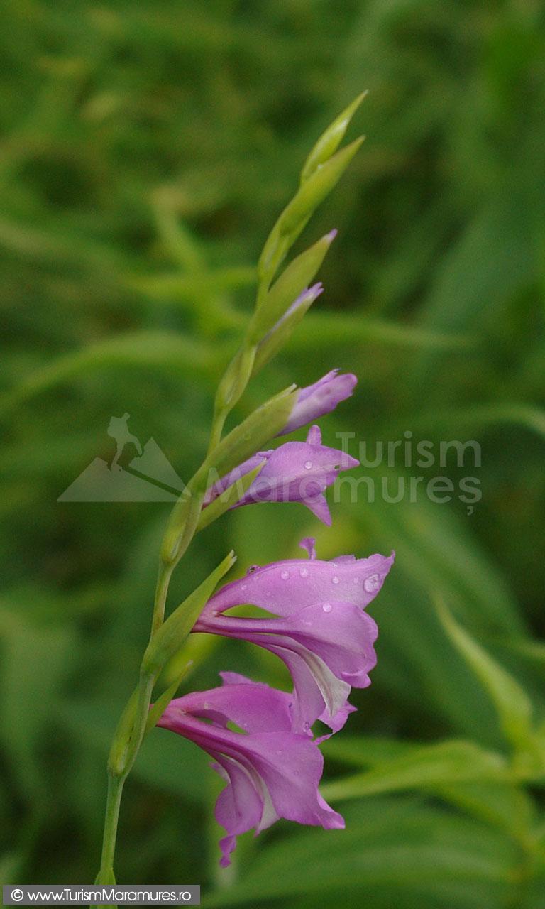 15_Gladiolus-imbricatus_gladiole-salbatice