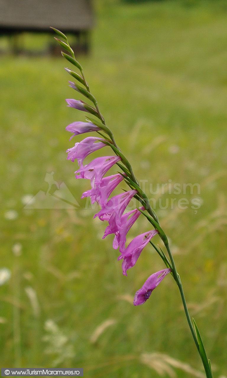 16_Gladiolus-imbricatus_gladiole-salbatice