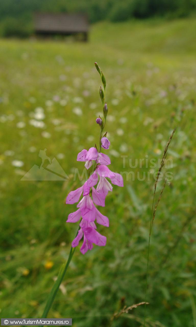 18_Gladiolus-imbricatus_gladiole-salbatice