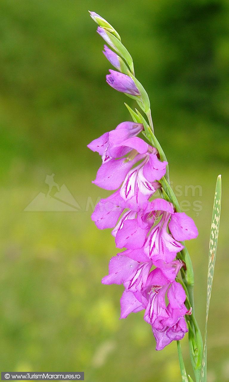 27_Gladiolus-imbricatus_gladiole-salbatice
