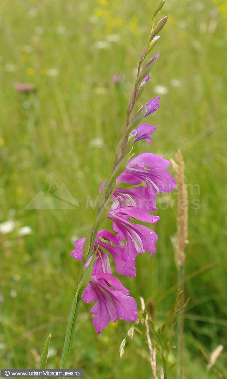 28_Gladiolus-imbricatus_gladiole-salbatice