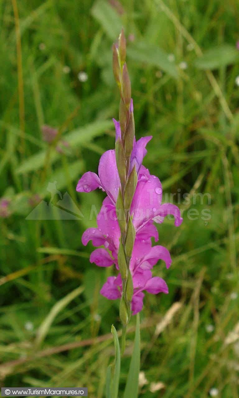 29_Gladiolus-imbricatus_gladiole-salbatice