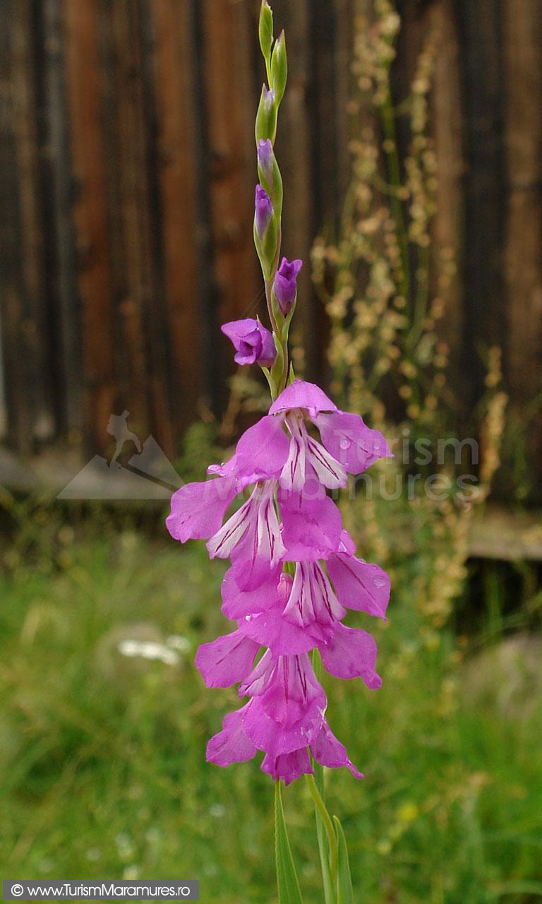 30_Gladiolus-imbricatus_gladiole-salbatice