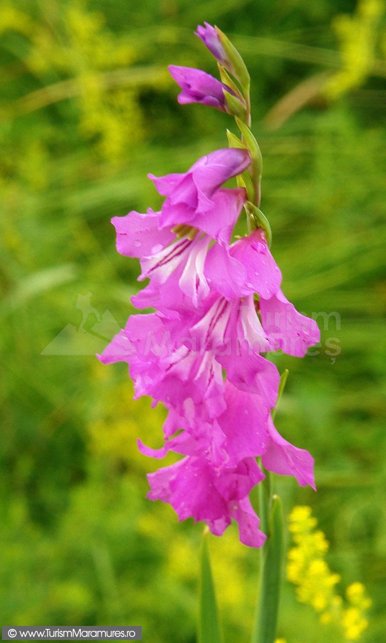 32_Gladiolus-imbricatus_gladiole-salbatice