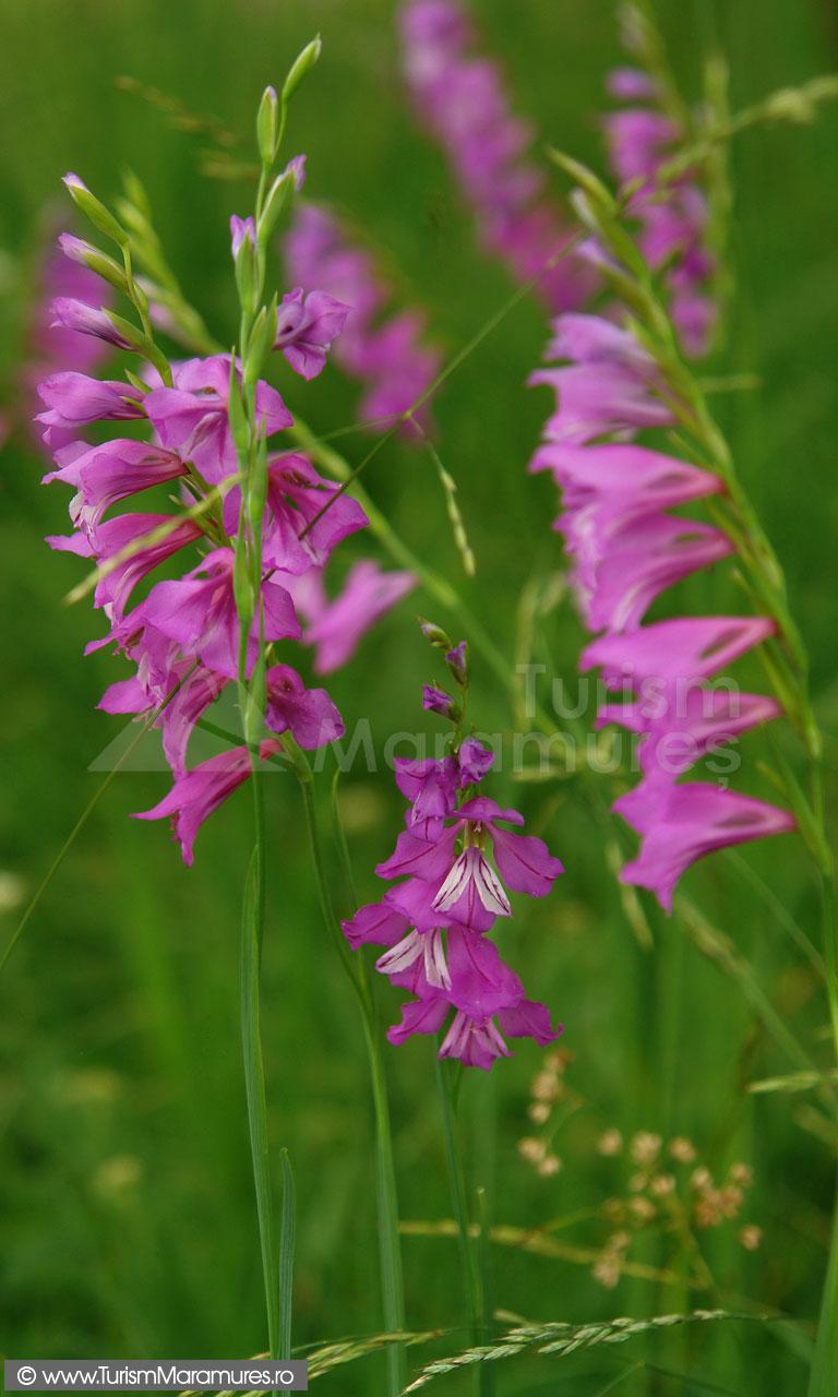 46_Gladiolus-imbricatus_gladiole-salbatice