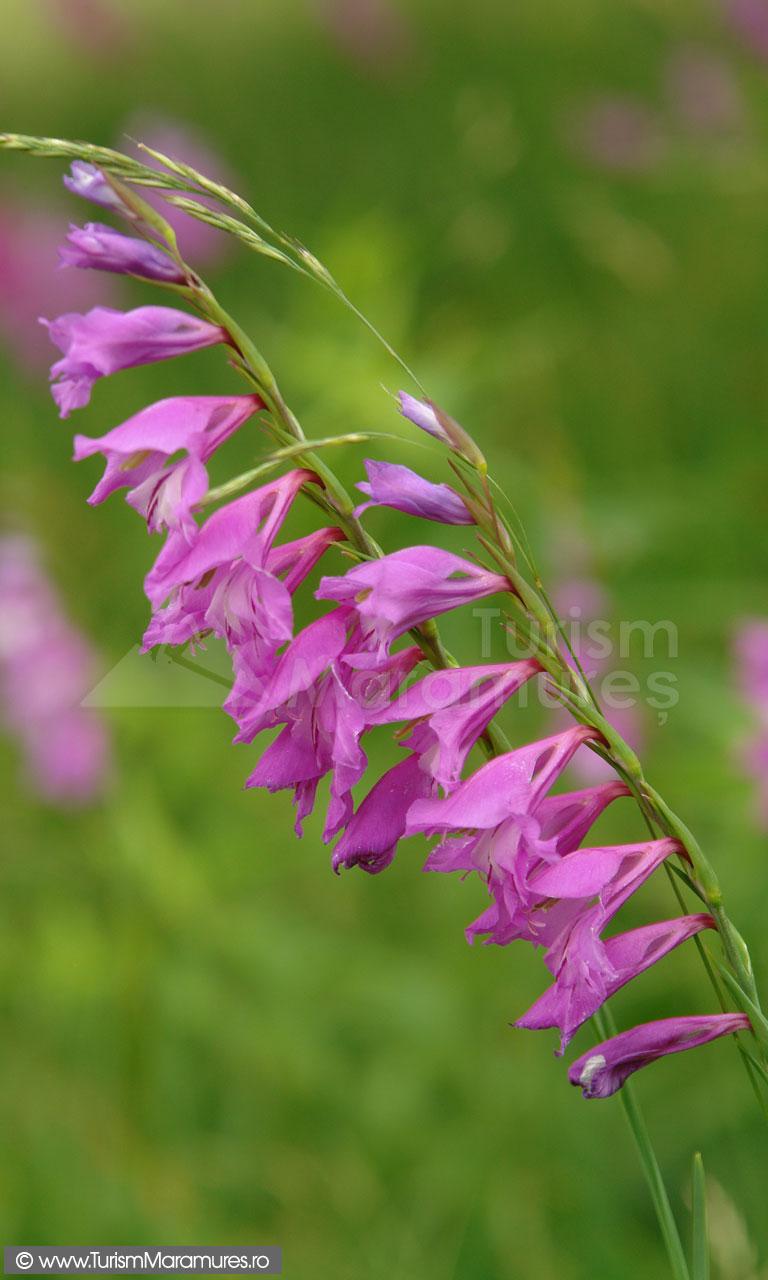 47_Gladiolus-imbricatus_gladiole-salbatice