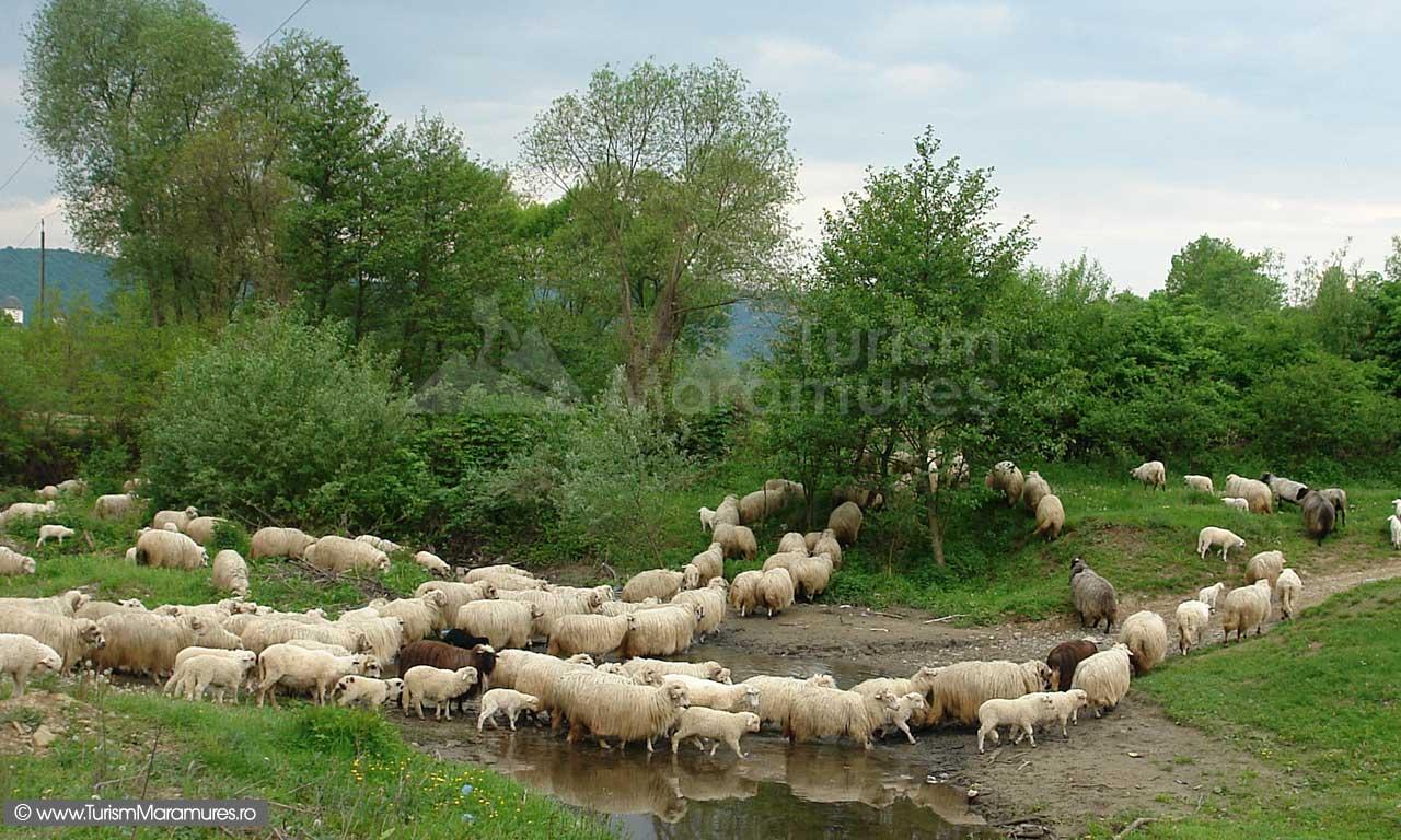 57_Oi-turcane-pe-Valea-Stejarului