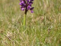 19-Orchis-morio-orhidee.jpg