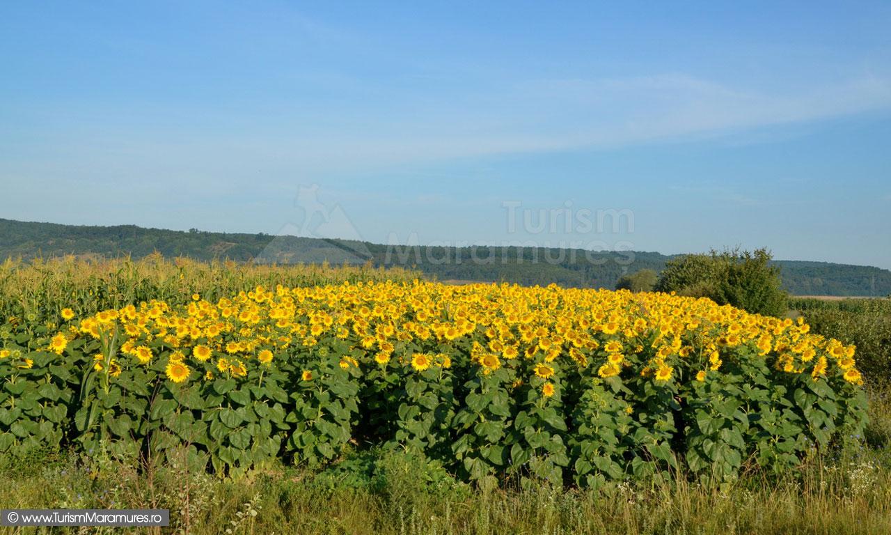 01_Lan-de-floarea-soarelui