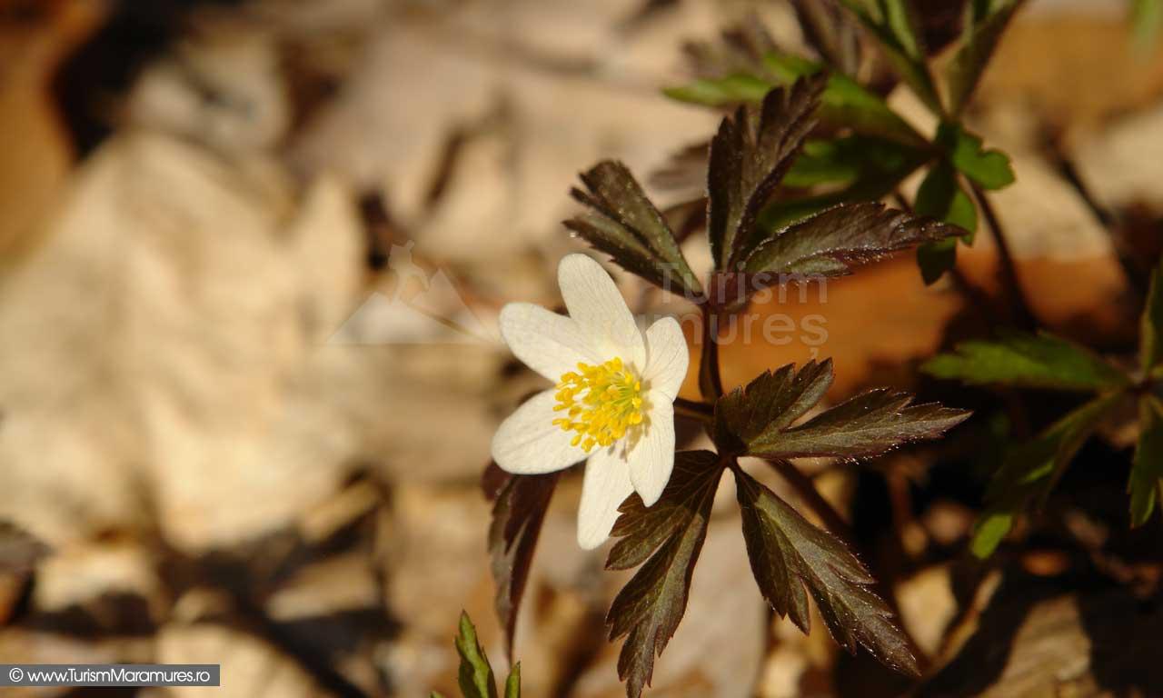 16_Floarea-Pastelui