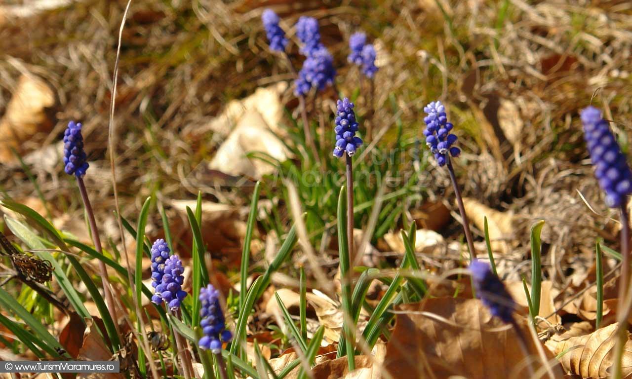 30_Flori-pe-dolomite_Defileul-Lapusului