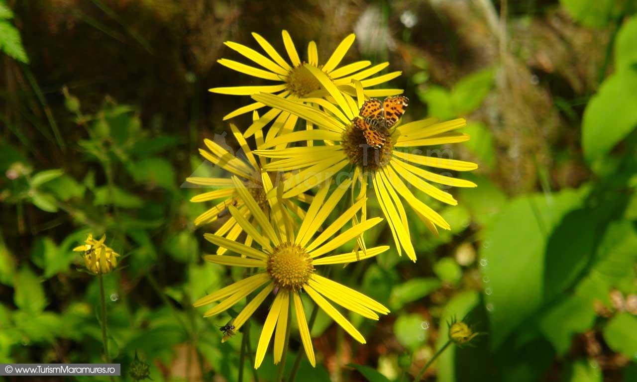 14_Doronicum-carpaticum