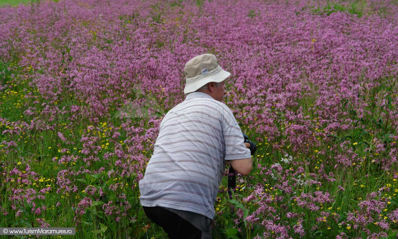 23_Floarea-cucului_Lychnis-flos-cuculi_Maramures