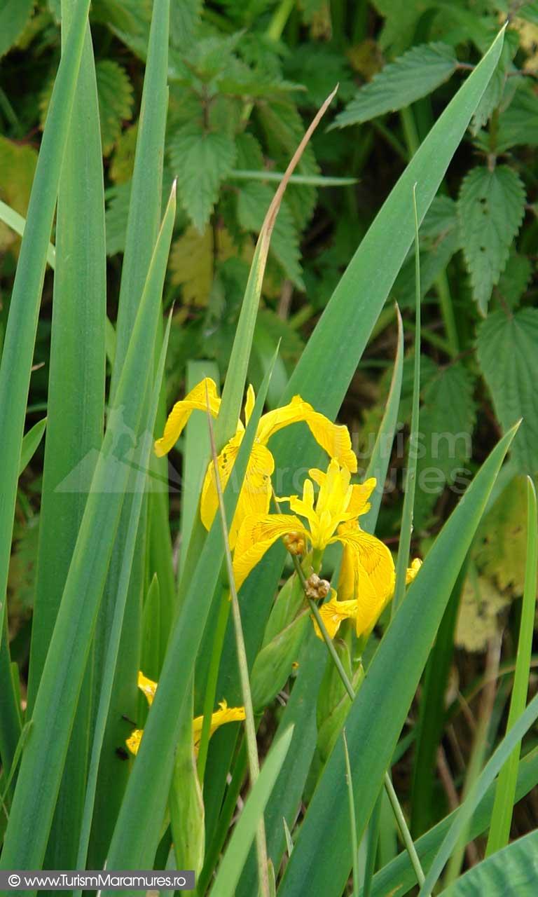 24_Iris-pseudacorus