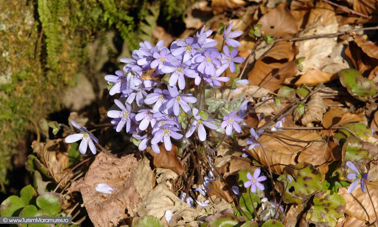 Albastrele_Hepatica-nobilis