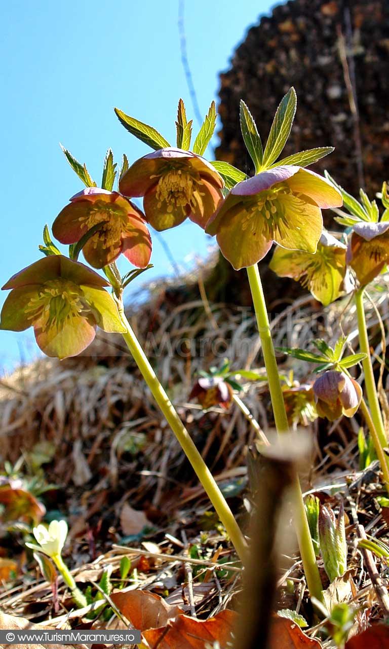 Helleborus-purpurescens_spanz