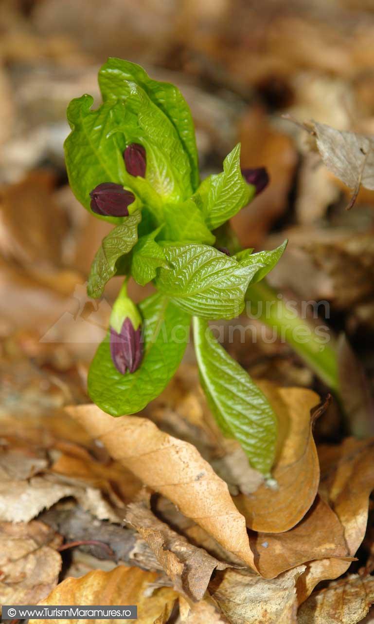 Scopolia-carniolica-Mutulica
