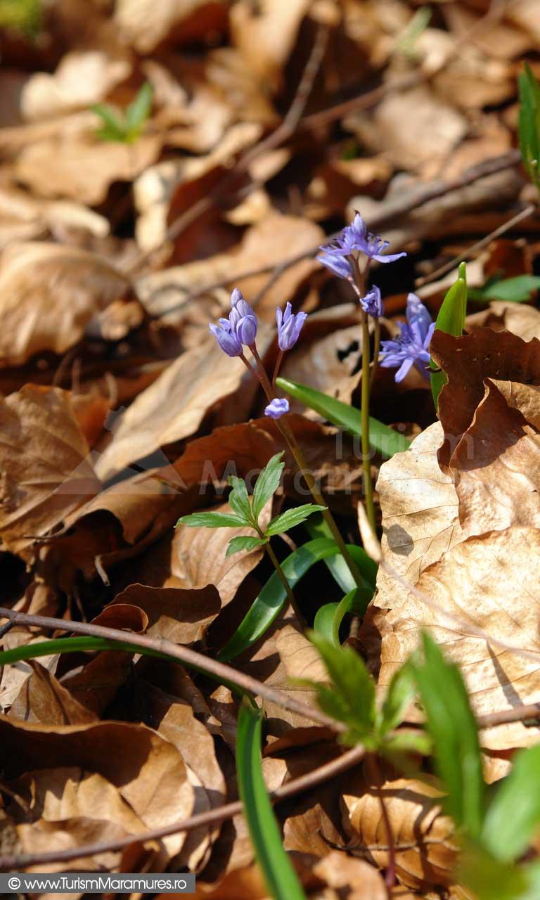 Viorele_Scilla-bifolia