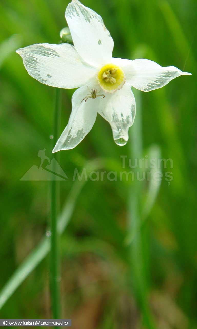 13_Narcisa-salbatica-pe-Custura-Vimei-Maramures