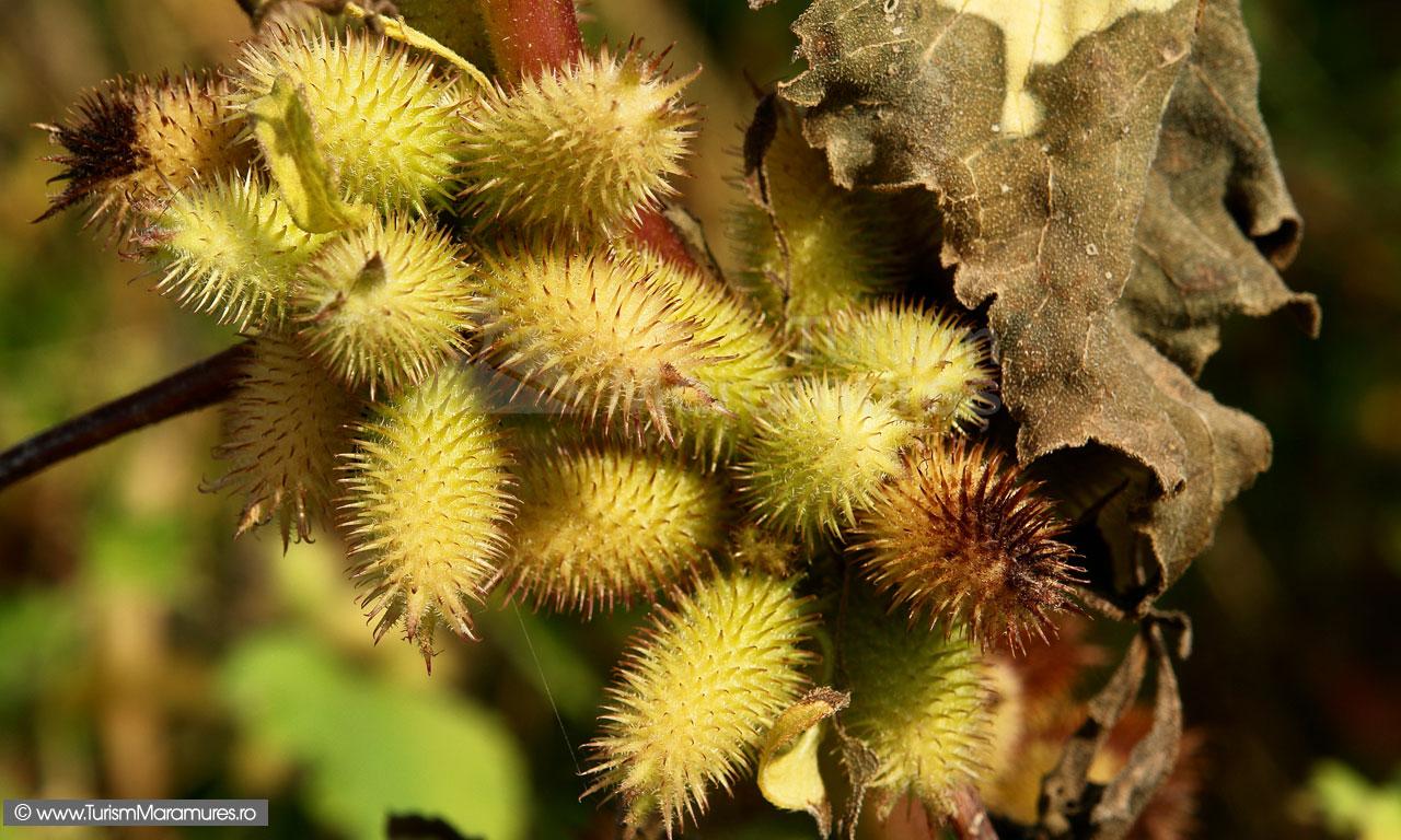 05_Datura-stramonium-fructe