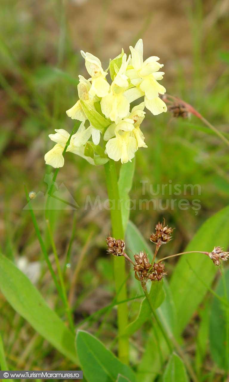 13_Orhidee