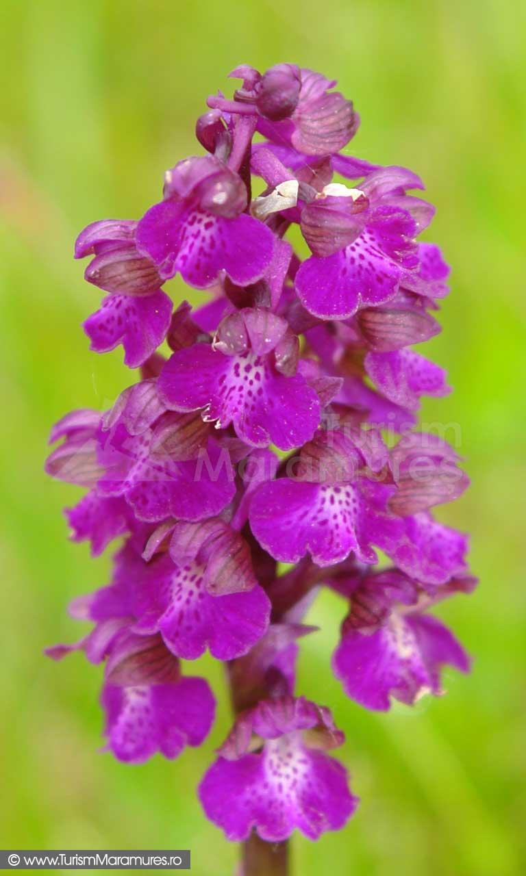 14_Orhidee